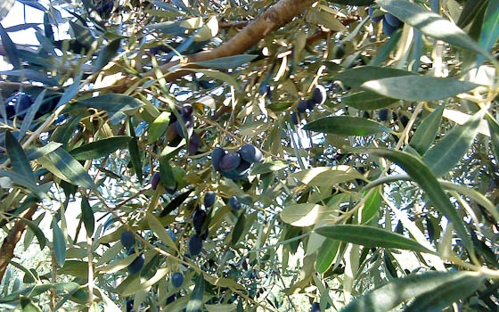 Olives1